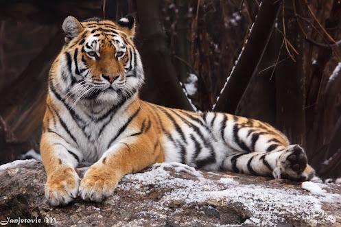 Sibirischer Tiger (Panthera tigris altaica)  #hqspanimals +Marina Versaci+Joe Urbz #animalphotography...